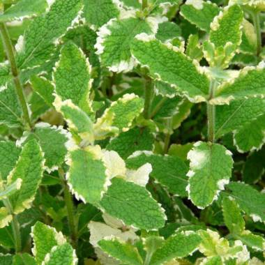 Mentha rotundifolia 'Variegata'