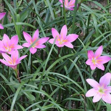 Zephyranthes robusta o carinata