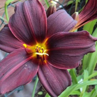 Hemerocallis 'Black Stockings'