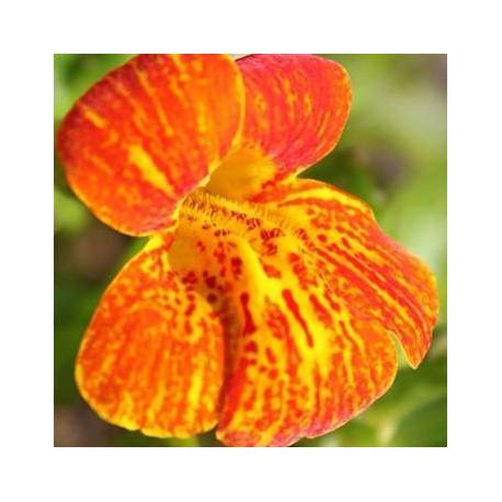 Mimulus 'Bonfire Red'