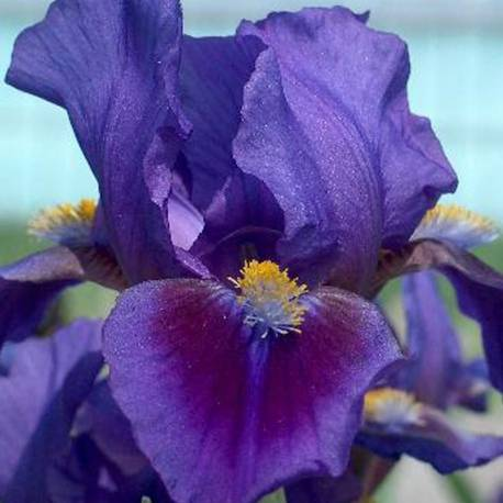 Iris pumila 'Double Lament'