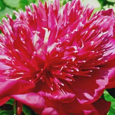 Paeonia lactiflora 'Instituteur Doriat'