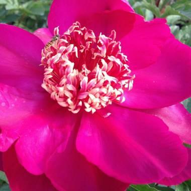 Paeonia lactiflora 'Walter Mains'