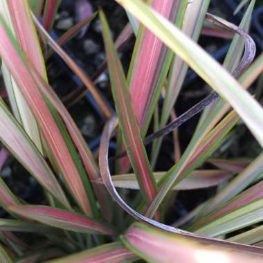 Phormium tenax 'Jester'