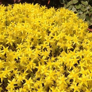 Sedum acre 'Yellow Queen'