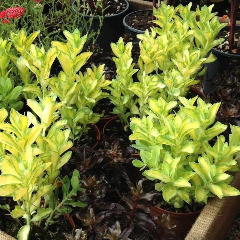 Sedum alboroseum 39 mediovariegatum 39 for Piante sempreverdi da esterno resistenti al freddo