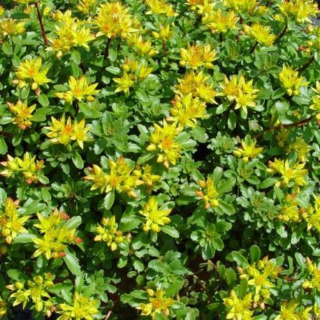 Sedum selskianum for Cespugli fioriti perenni resistenti al freddo