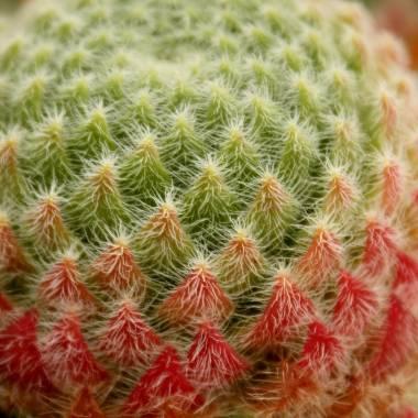 Sempervivum ciliosum 'Borisii'