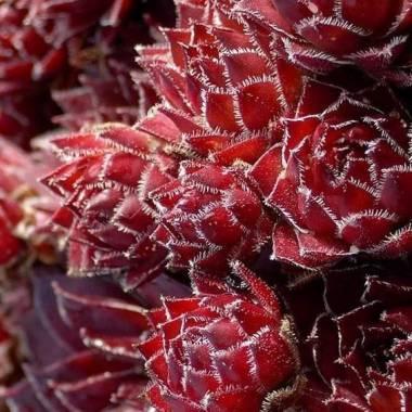Sempervivum 'Little Rubin'