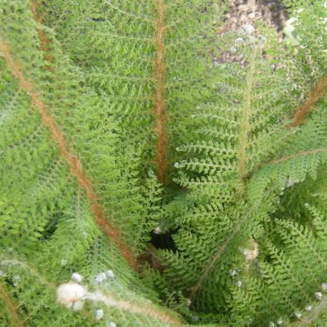Polystichum setiferum 'Herrenhausen'