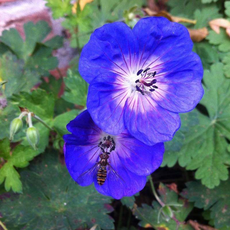 Geranium 39 rozanne 39 for Siepi fiorite perenni