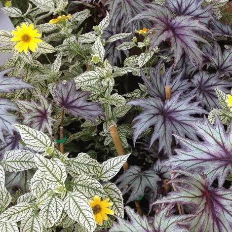 Heliopsis 'Loraine Sunshine'