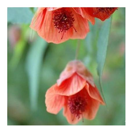 Abutilon 'Tangerine Belle'