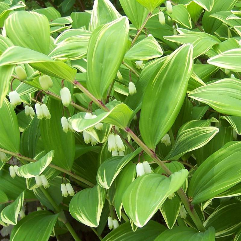 Piante A Cespuglio Da Giardino : Polygonatum falcatum variegatum