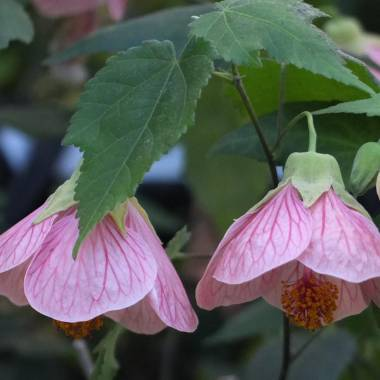 Abutilon 'Thousand Kisses Cherry'