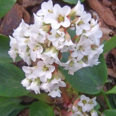 Bergenia cordifolia 'Bressingham White'