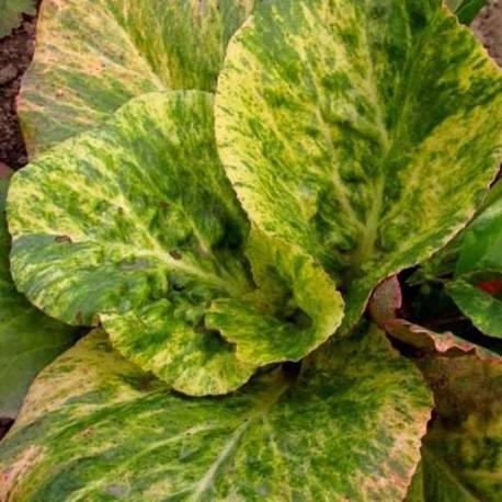 Bergenia cordifolia'Tubby Andrews'