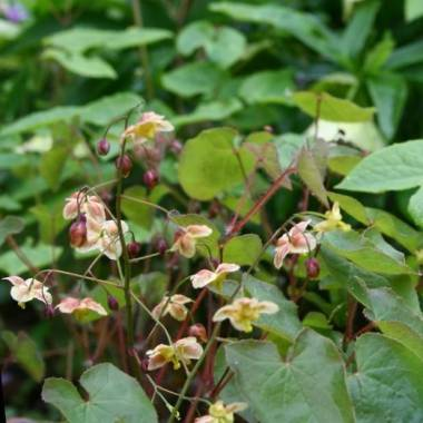 Epimedium pinnatum ssp. colchicum 'Black Sea'