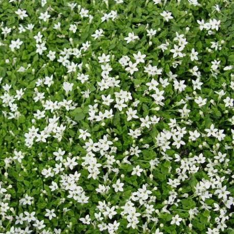 Isotoma fluviatilis 'Alba'