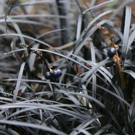 Ophiopogon planiscapus 'Black Smaragd' ('Nigrescens')