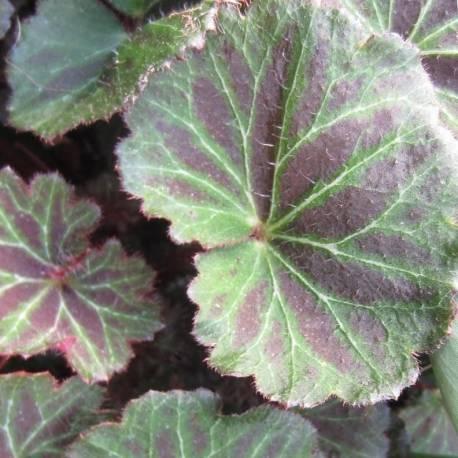 Saxifraga stolonifera 'Kinki Purple'