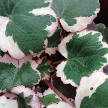 Saxifraga stolonifera 'Tricolor'