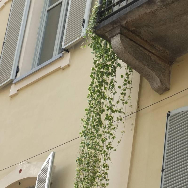 Le Piante Aromatiche : Vinca major variegata