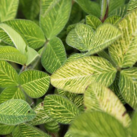 Trifolium pratense 'Susan Smith'