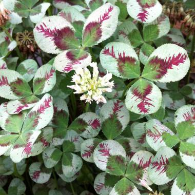 Trifolium repens 'Dragon's Blood'