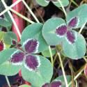 Trifolium repens 'Josephine'