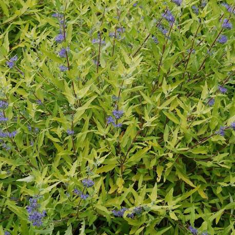 Caryopteris × clandonensis 'Worcester Gold'