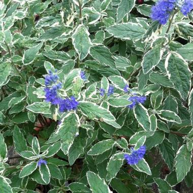 Caryopteris x clandonensis 'White Surprise'