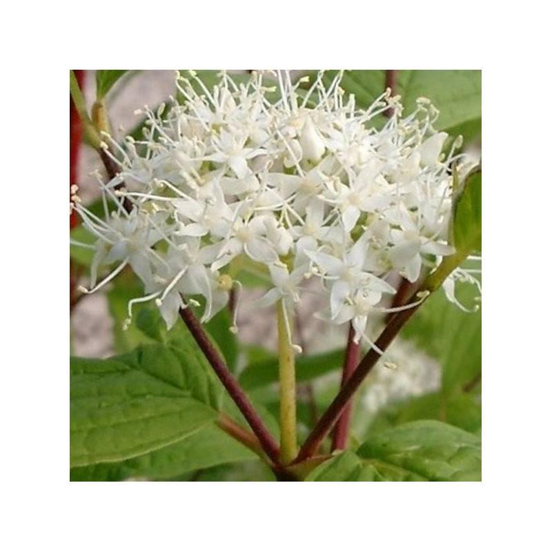 Cornus alba 39 baton rouge 39 for Arbusti fioriti perenni