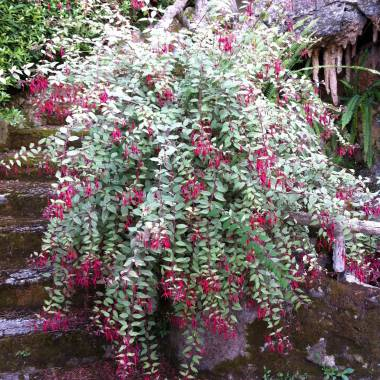 Fuchsia magellanica sin. Fuchsia magellanica 'Tenella'