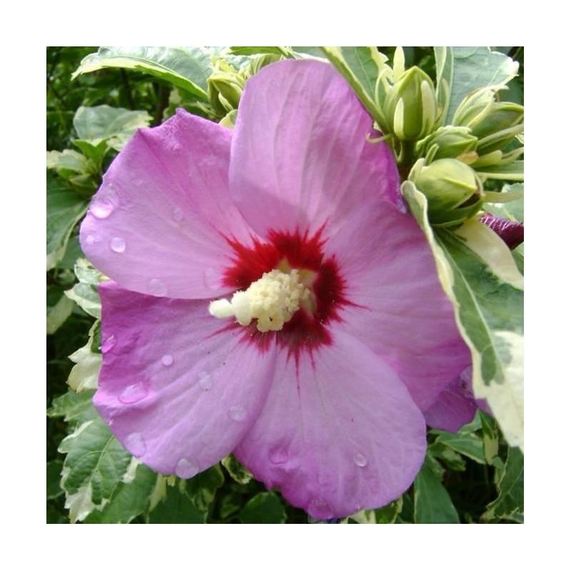 hibiscus syriacus 39 purpureus variegatus 39. Black Bedroom Furniture Sets. Home Design Ideas
