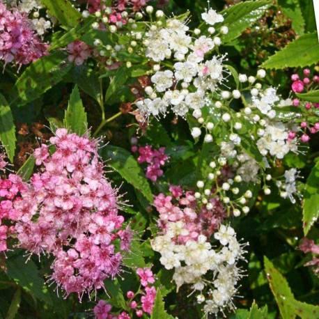 Spiraea japonica 'Shirobana'