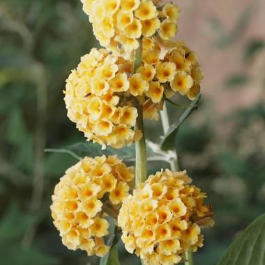 Buddleja × weyeriana 'Sungold'