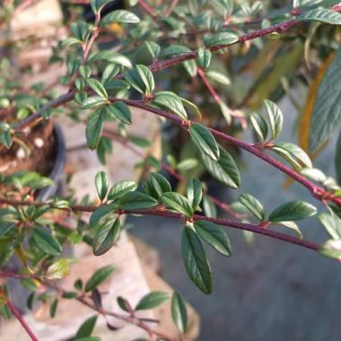 Cotoneaster salicifolius 'Repens'