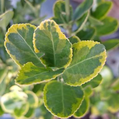 Euonymus japonicus 'Ovatus Aureus'