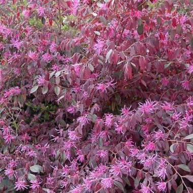 Loropetalum chinense var. 'rubrum Fire Dance'