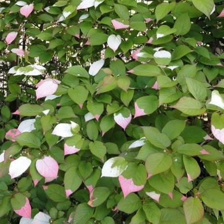 Actinidia kolomikta for Piante rampicanti ornamentali