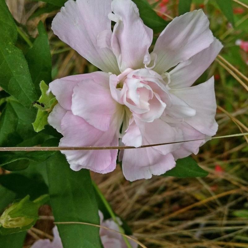 Calystegia pubescens 39 multiplex 39 for Piante rampicanti ornamentali