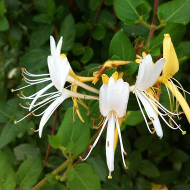 Lonicera caprifolium 'Madreselva'