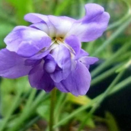 Viola odorata 'De Toulouse'