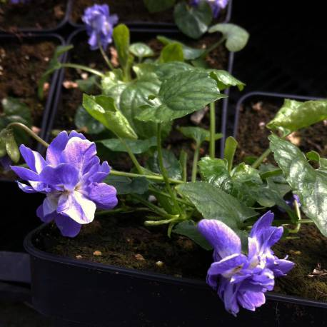 Viola odorata 'Duchesse De Parme'
