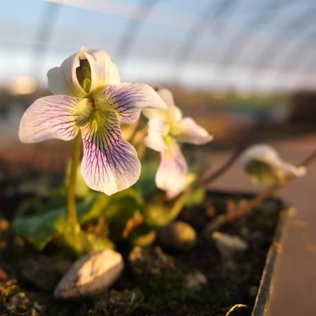 Viola papilionacea 'Alba'