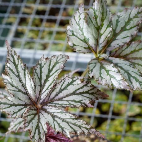 Begonia x hybrida 'Benitochiba'