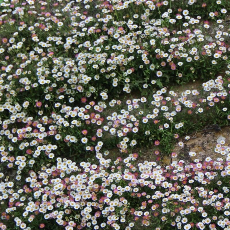 Piante Di Rose Rampicanti : Erigeron karvinskianus