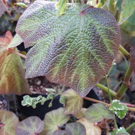 Begonia 'Burle Marx'