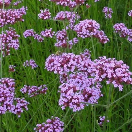 Verbena bonariensis - Piante fiorite ...